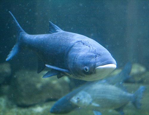 How to Look for and Report Invasive Asian Carp
